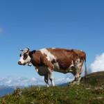 Kuh namens Wolk auf der Binsalm