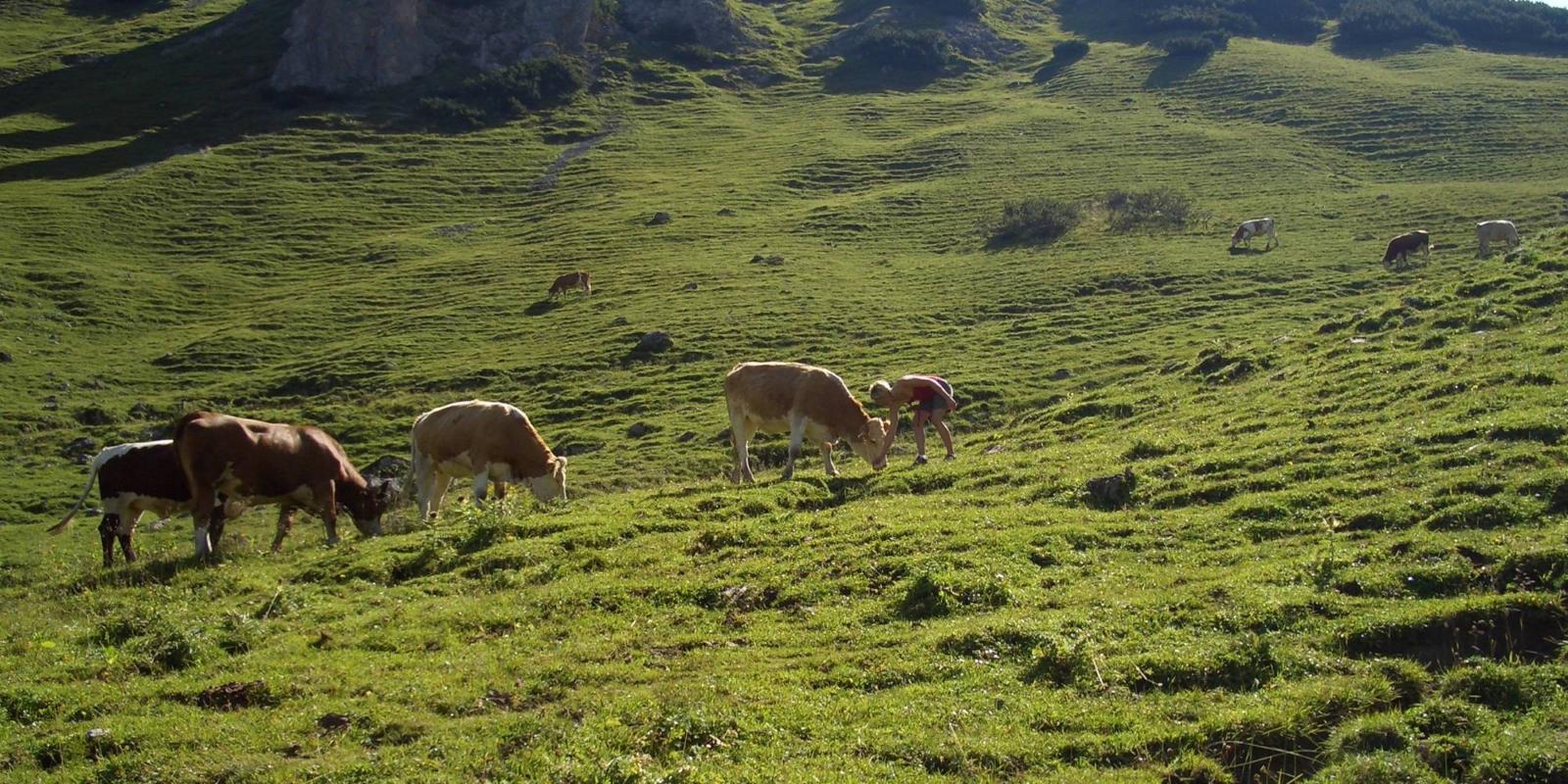 Kühe und Jungvieh auf der Binsalm im Karwendel
